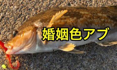 北海道産アブラコの魚体に惚れる