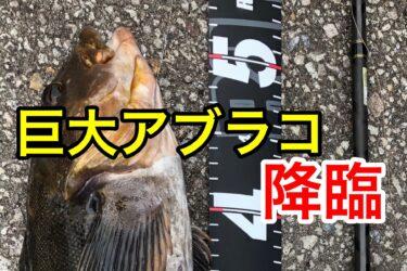 北海道の漁港で大型アブラコが釣れる