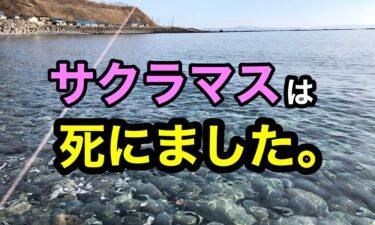 熊石関内川河口でサクラマス釣り