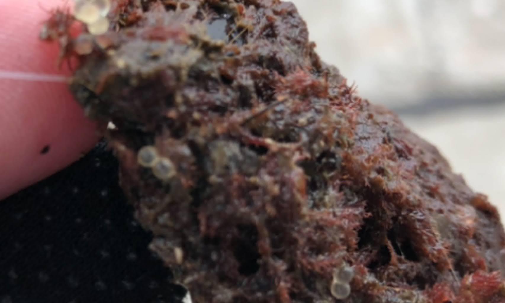 魚の卵がついた海藻