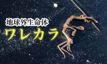 海藻に付いている虫 ワレカラ