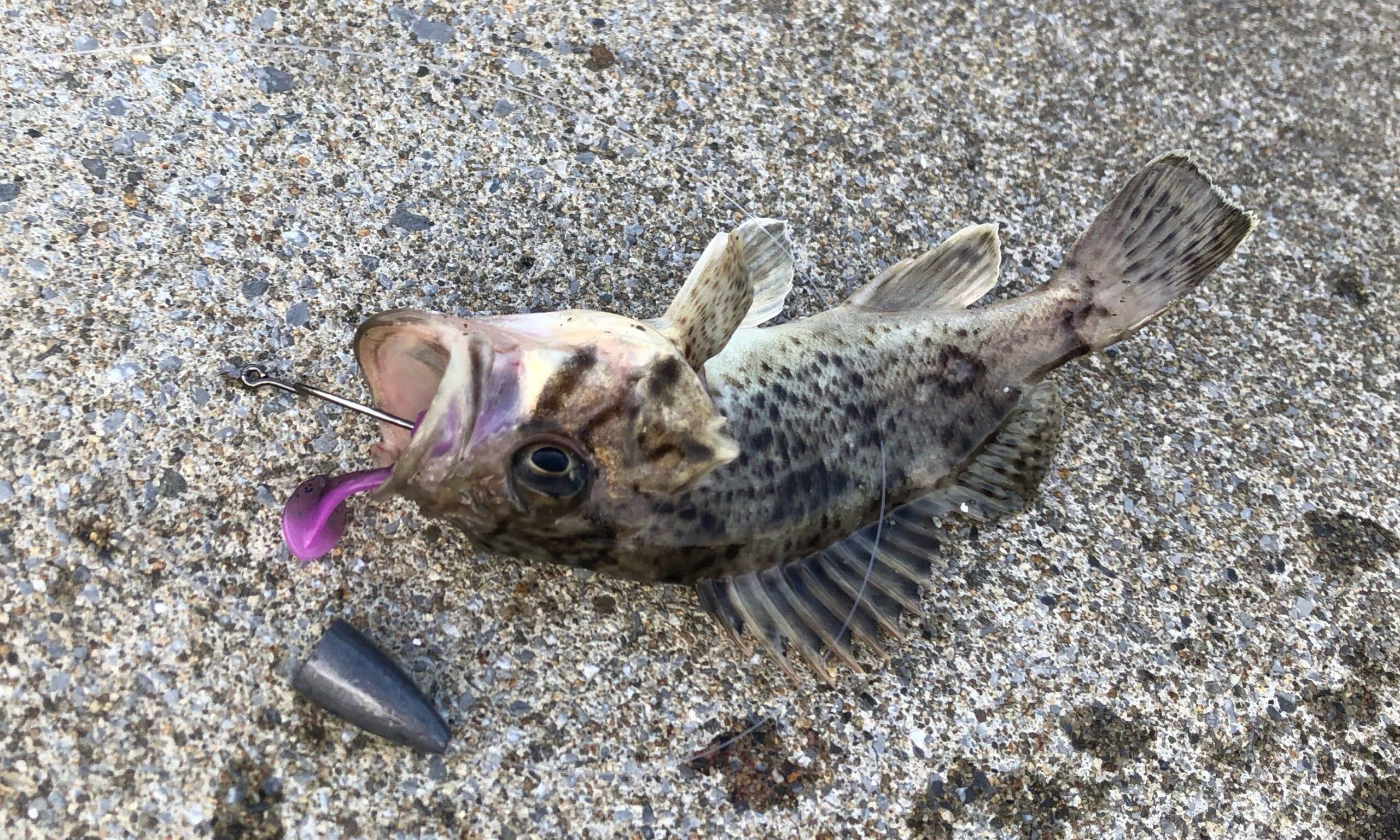 クロソイ幼魚